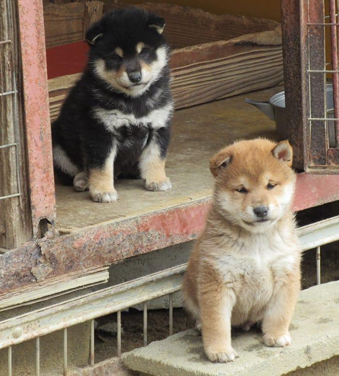 兄弟の柴犬