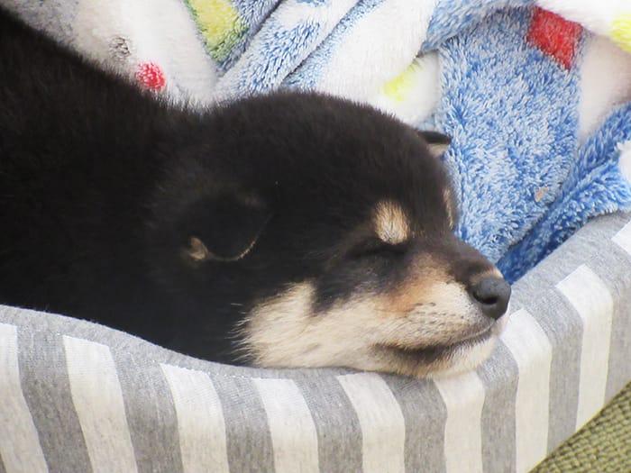 ぐっすり眠る黒柴の子犬