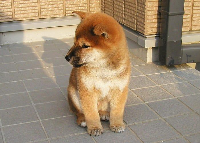 赤柴の子犬