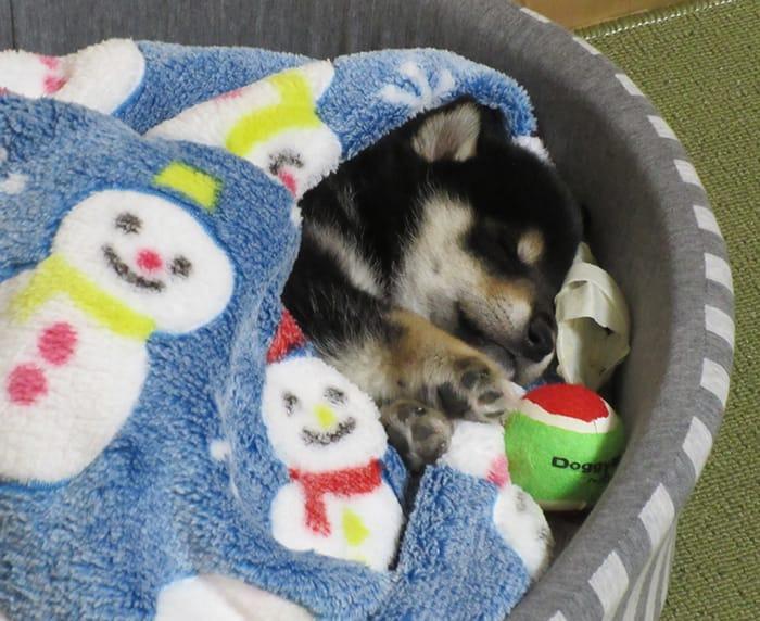 疲れて眠る柴犬