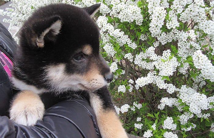 黒柴の子犬と花