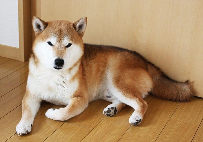 柴犬10歳