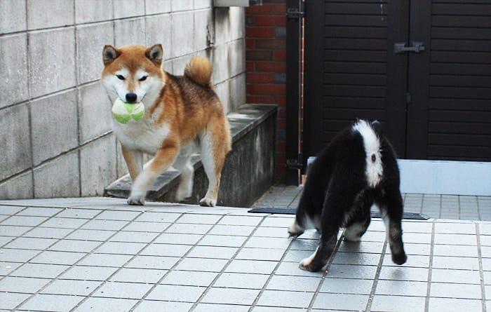 柴犬多頭飼いのボール遊び