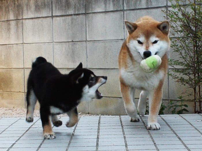 柴犬多頭飼い ボールをちょうだい!