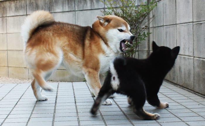 柴犬多頭飼いの喧嘩