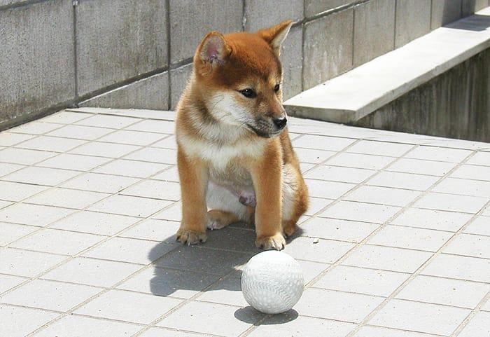 ボールと柴犬
