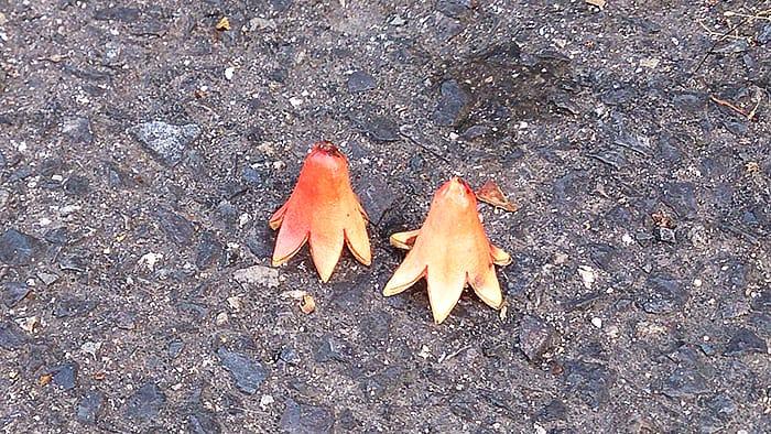 タコウインナーのようなザクロの萼(がく)